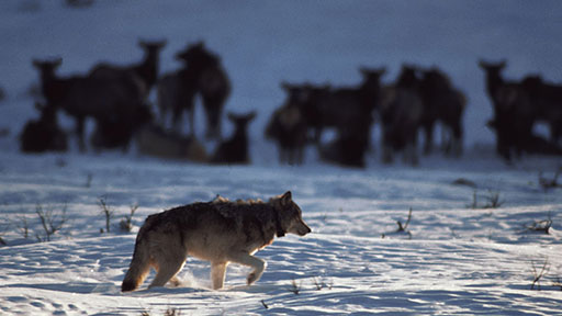 Hunting Wolves, Saving Wolves   NOW on PBS