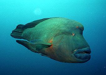 Foto/Gambar Ikan Napoleon