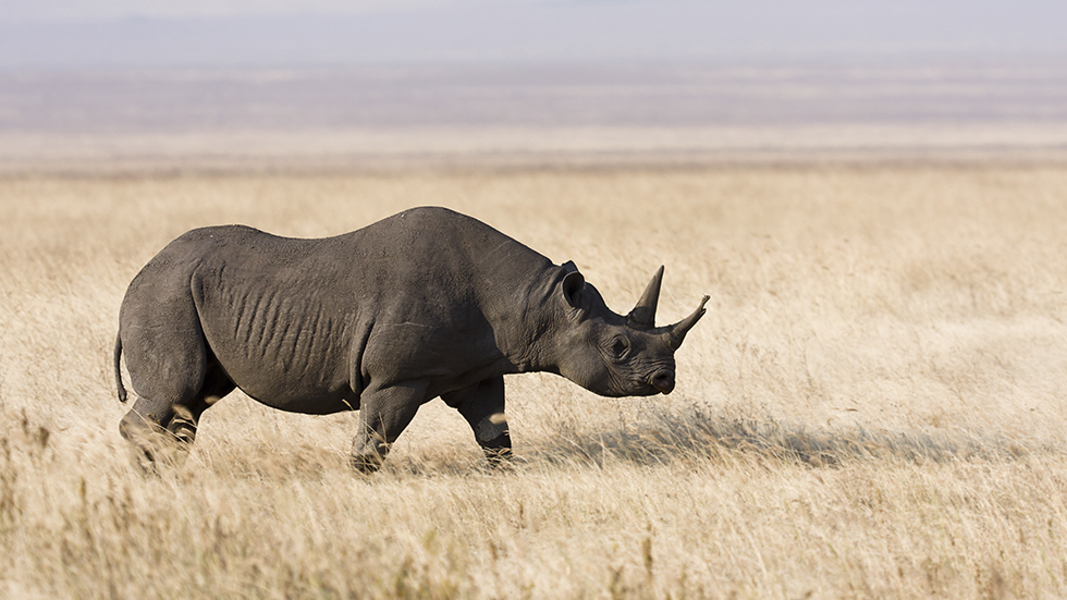 http://www-tc.pbs.org/prod-media/antiques-roadshow/article/images/rhino-horn-lede.jpg