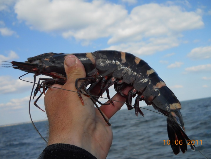 The invasive Asian tiger shrimp, which can grow as long as a human ...