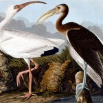 White and Brown Ibis, by John James Audubon