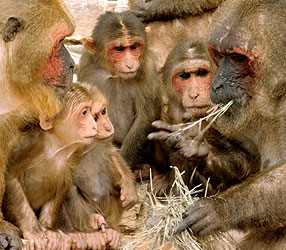 Stubtailed macaques