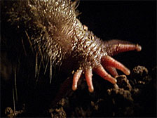 Star-nosed mole nose
