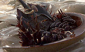 upside-down horseshoe crab