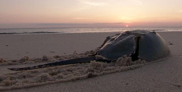 horseshoe crab at sunset