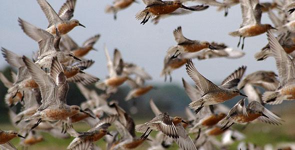 Red knots in flight