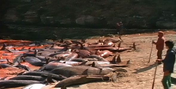 dolphin corpses on a beach