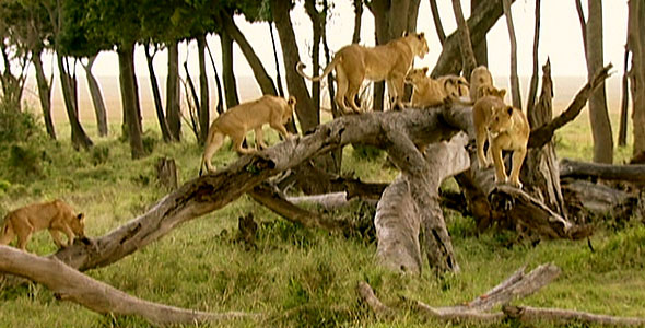 Group of lions on a fallen tree
