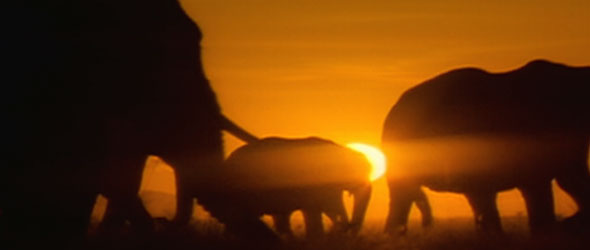 Elephants at sunset. Sunrise, December 26, 2004.