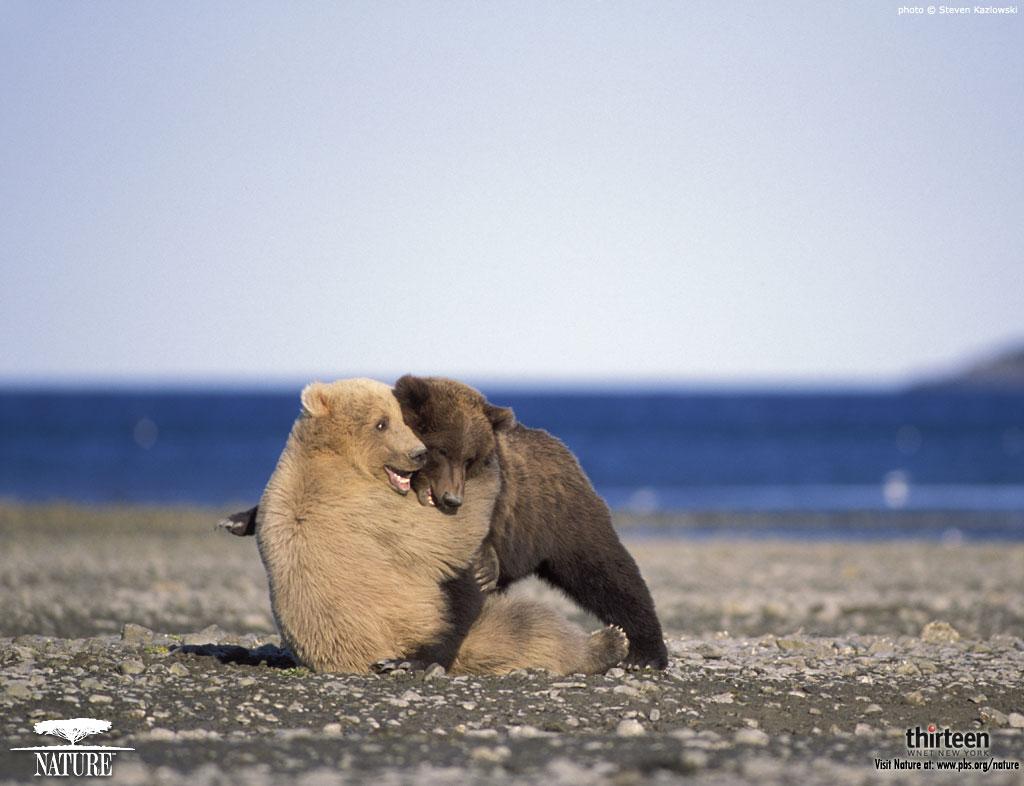 Download polar bear wallpaper for your desktop.