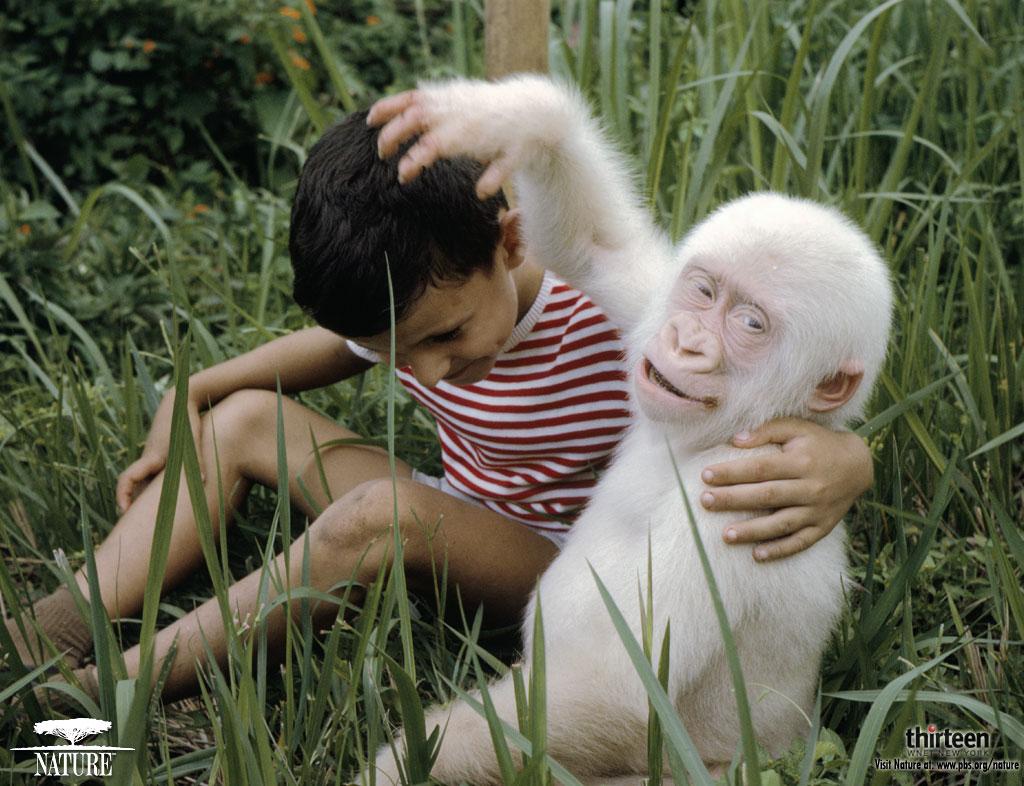 Uncategorized Snowflake The White Gorilla monkey reborn kit gorilla kiki sculpted by sharon azzinnaro le 100 ww