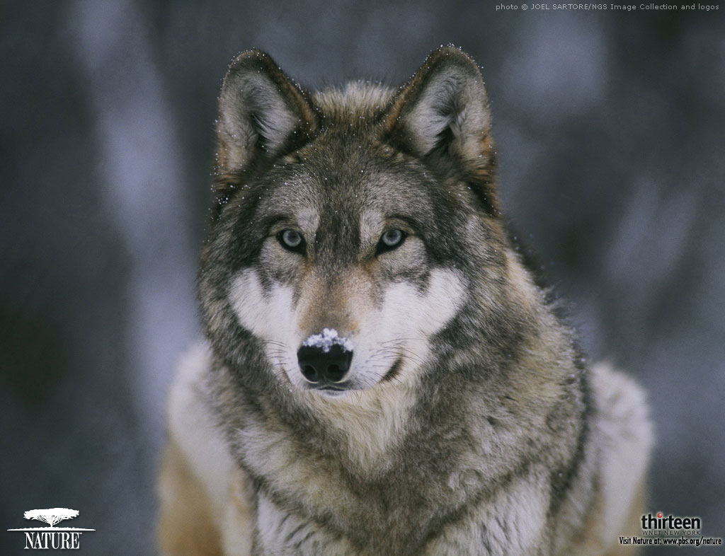 Tags: Druid wolf pack, gray wolves, wallpaper