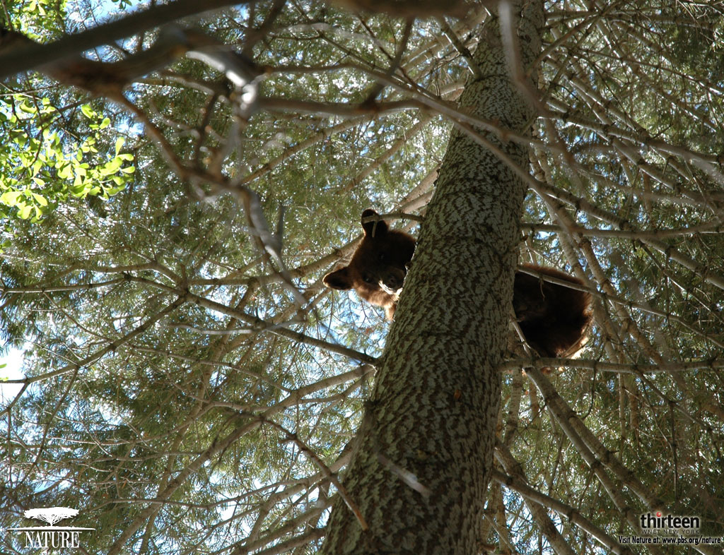 bear up a tree