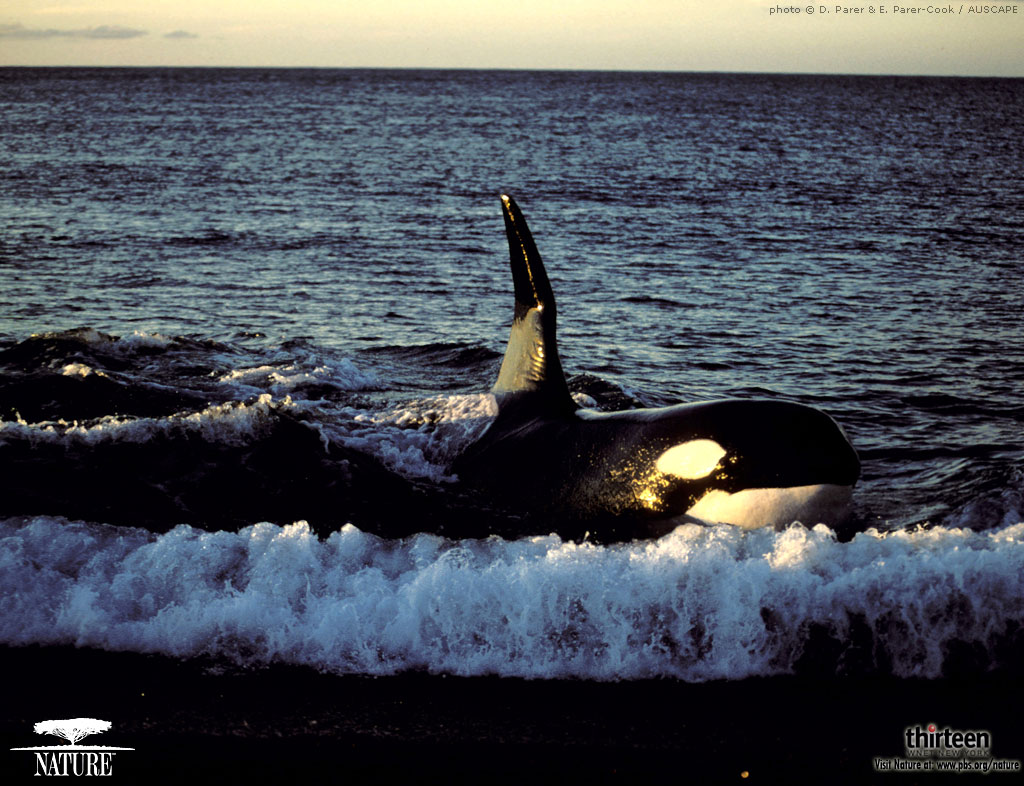 Images Of Killer Whale Phone Wallpaper