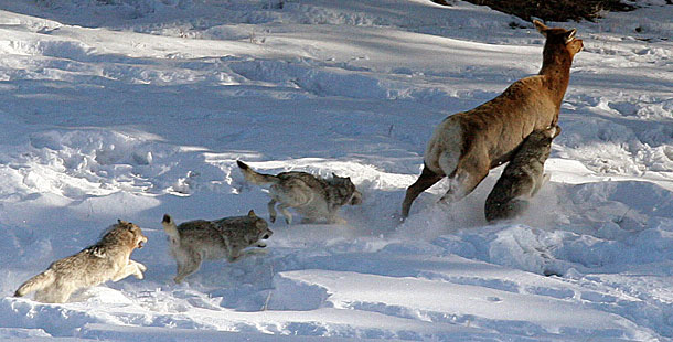 Gray wolf ( canis lupus )