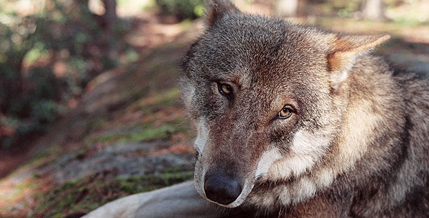 domestication of wolves Survival of the friendliest suggests that wolves largely domesticated themselves among hunter-gatherer people that the first domesticated animal was a large carnivore,.