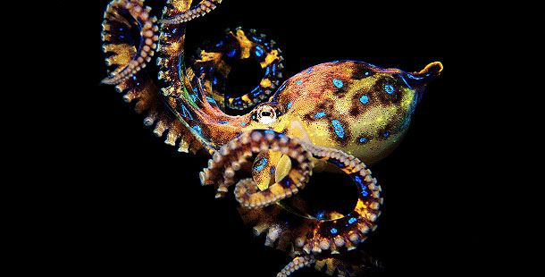 Blue-Ringed Octopus - Animal Guide | Nature | PBS