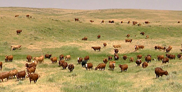 http://www-tc.pbs.org/wnet/nature/files/2008/09/610_holycow_organic.jpg