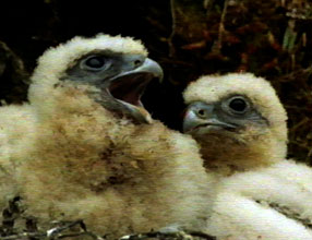Gyrfalcon chicks
