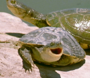 The Reptiles: Turtles and Tortoises ~ Pet Turtles Nature PBS
