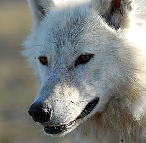 http://www-tc.pbs.org/wnet/nature/files/2008/10/286_wfww_wolf_face.jpg