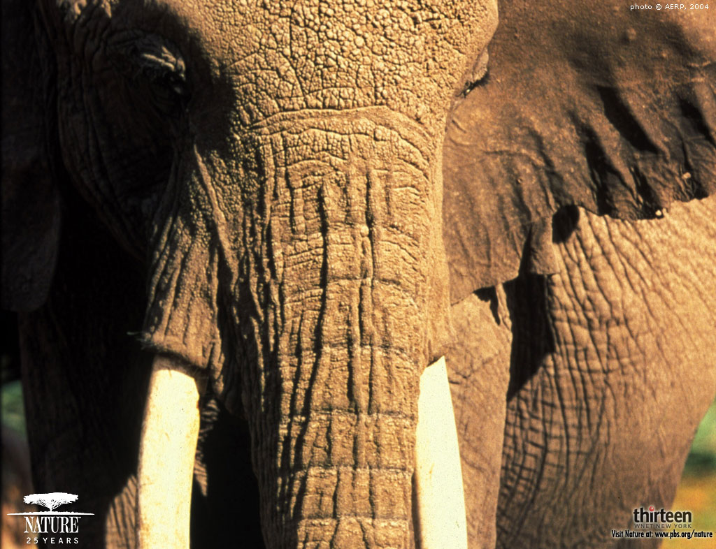 Download elephant wallpaper for your desktop!