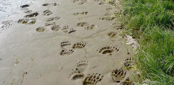Bear tracks everywhere