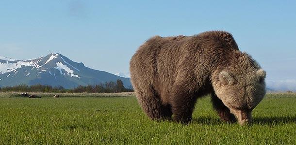 Bear grazing in Alaska
