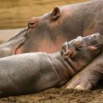 bornwild-hippo-1024x768