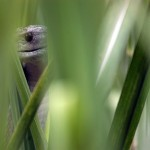 Lurking in the Sugar Cane