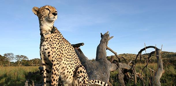 610_cheetahs_update