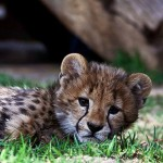 RUNNER-UP - Cheetah Cub