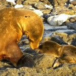 RUNNER-UP - Female Galapagos Sea Lion Nuzzles Her Pup