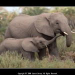 WINNER - African Elephant Mother with Calf