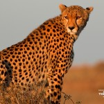 Nature_Wallpaper-1024x768-cheetah