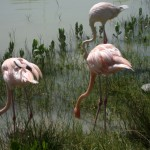 A group of flamingos feed near Cayo Coco, Cuba.
