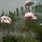 A group of flamingos feed near Cayo Coco, Cuba.