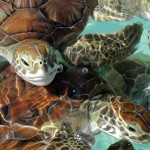 The baby green turtles swimming at this breeding center in Cayo Largo, Cuba will eventually be released into the ocean.
