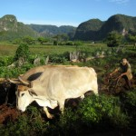 A tobacco farmer working the fertile fields of Viñales is shown with massive eroding limestone karsts, called mogotes, visible in the background.