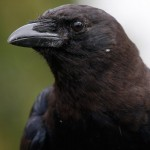"Close-up of an American crow, a bird common to the U.S., southern Canada, and northern Mexico, whose species name (brachyrhynchos) literally means ""short-billed crow.""  Photo by J.P. Moczulski."