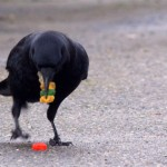 Crows are scavengers, eating everything from crops and dead animals to landfill garbage and gummy bears.