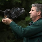 Professor John Marzluff installs a telemetry device on a crow, allowing him to remotely locate the crow and record information about it.  Photo by Keith Brust.