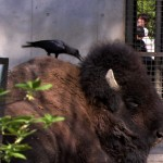 Crows are inventive and resourceful.  This crow pulls tufts of hair from a buffalo in a Tokyo zoo to use for its nest.