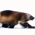 Wolverines are built to move with ease across thick snow cover.