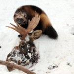 Wolverine with a moose carcass buried in the snow.  Wolverines have powerful jaws that can crush bones to dust.