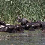 Water buffalo bathing in the wetlands