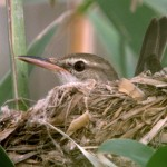The rare and indigenous Basra reed-warbler nests in the marshlands, a sign of success for the restoration project.