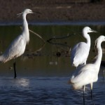 Egrets resting in the wetlands