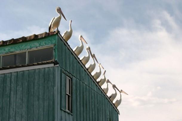 Mature Australian pelicans consume ...