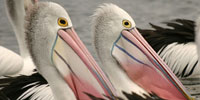 Watch Outback Pelicans Online | Full Episode | Nature | PBS